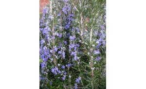 Αρωματικα φυτά