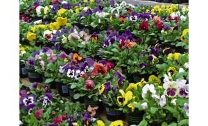 Εποχιακά φυτά