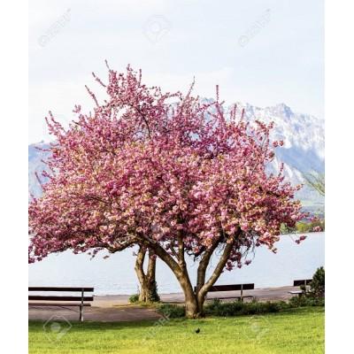 Καλλωπιστικά δένδρα